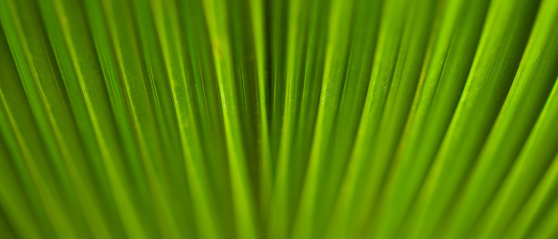 Palmenblatt in Nahaufnahme